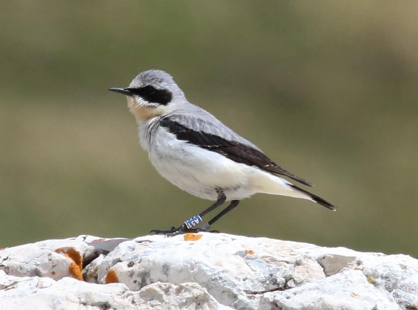 Galleri Snowfinch - (11) Eliseo Strinella