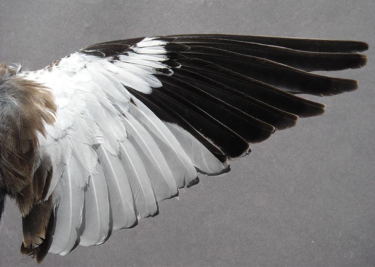 Galleri Snowfinch - (38) Eliseo Strinella
