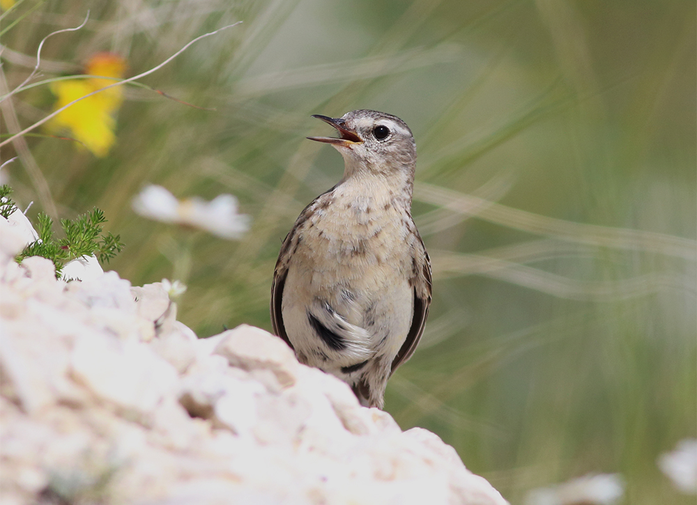Galleri Snowfinch - (47) Eliseo Strinella
