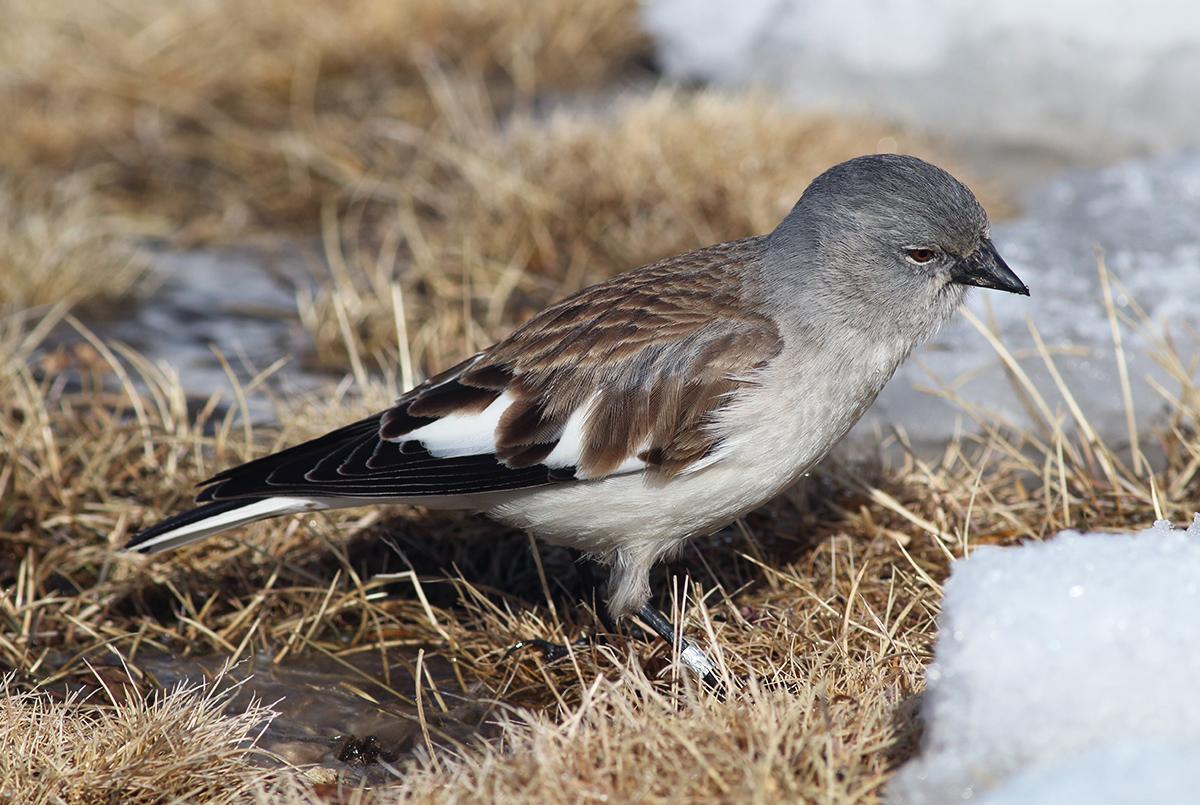 Galleri Snowfinch - (5) Eliseo Strinella