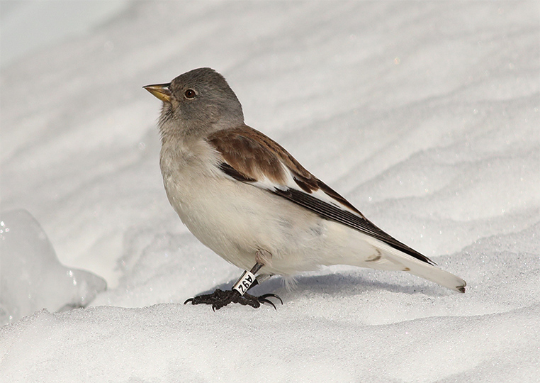Galleri Snowfinch - (8) Eliseo Strinella